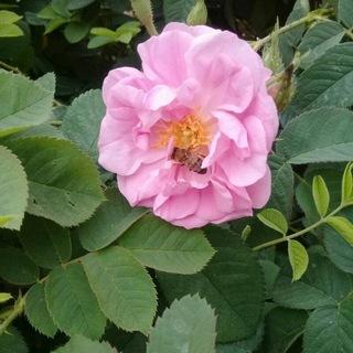 گلاب و عرقیات گل نرگس